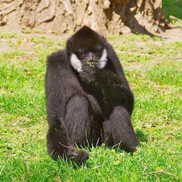 Bóbitás gibbon