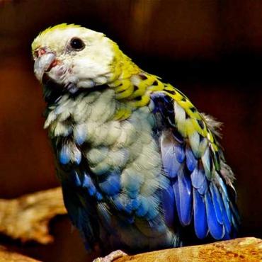Énekes papagáj