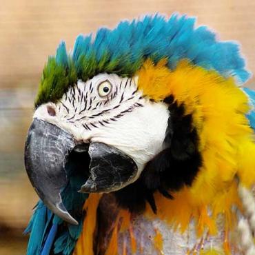 Kék-sárga ara