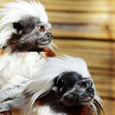 Liszt majmocska