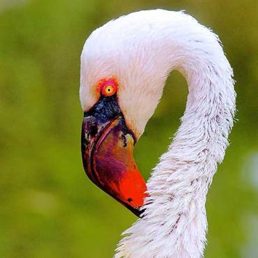 Rózsás flamingó