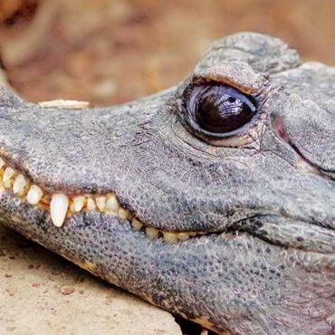 Tompaorrú krokodil